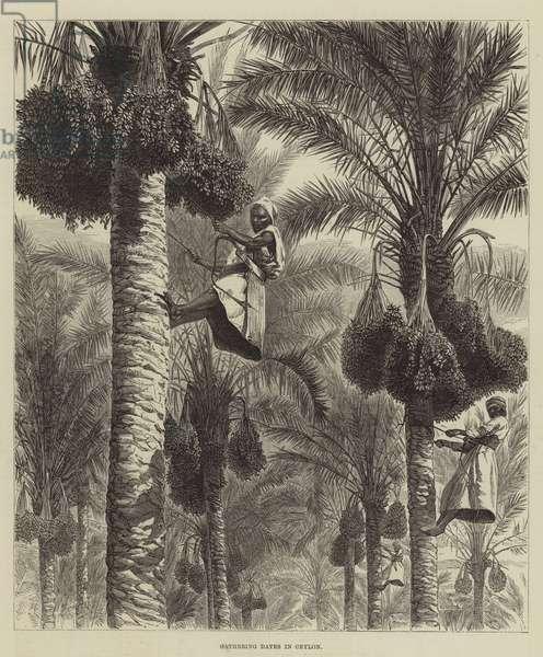 Gathering Dates in Ceylon (engraving)