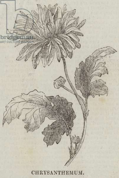 Chrysanthemum (engraving)