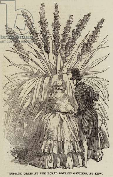 Tussack Grass at the Royal Botanic Gardens, at Kew (engraving)