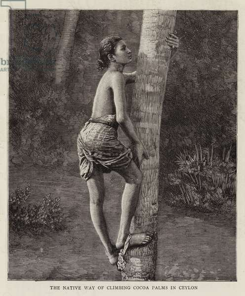 The Native Way of climbing Cocoa Palms in Ceylon (engraving)