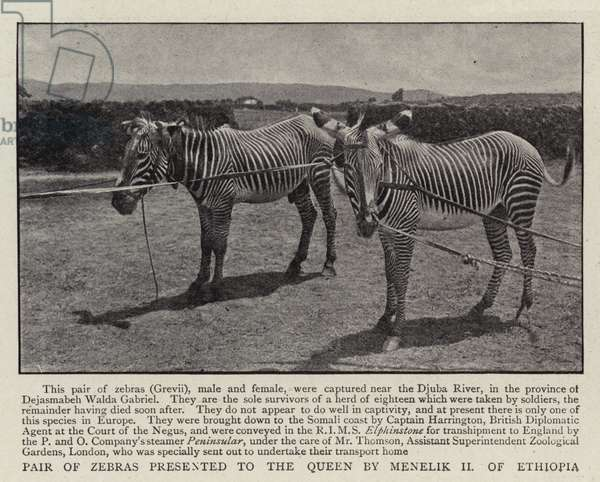 Pair of Zebras presented to the Queen by Menelik II of Ethiopia (b/w photo)