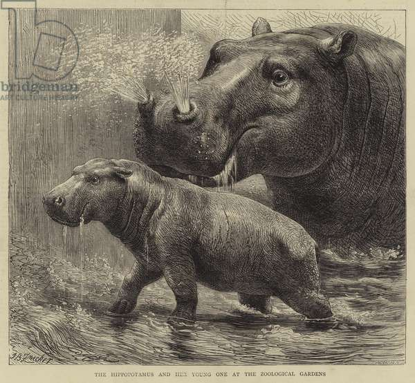 The Hippopotamus and her young one at the Zoological Gardens (engraving)