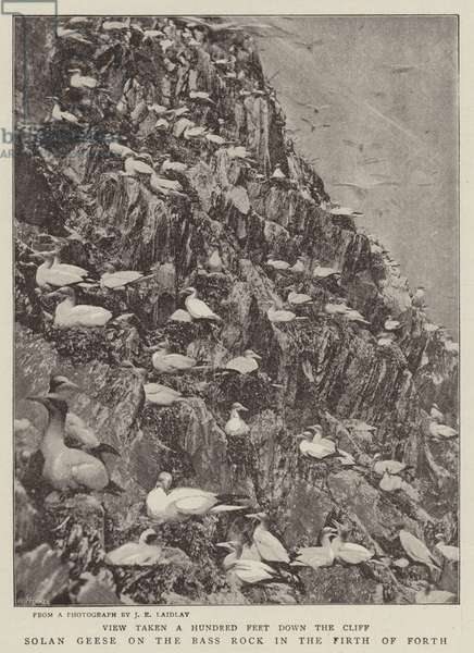 Solan Geese on the Bass Rock in the Firth of Forth (b/w photo)