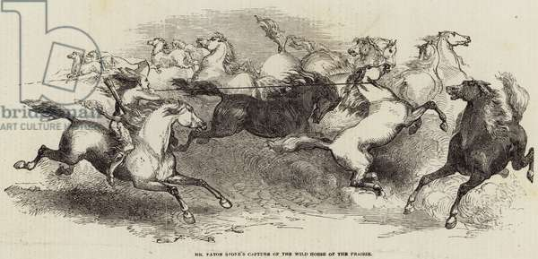 Mr Eaton Stone's Capture of the Wild Horse of the Prairie (engraving)