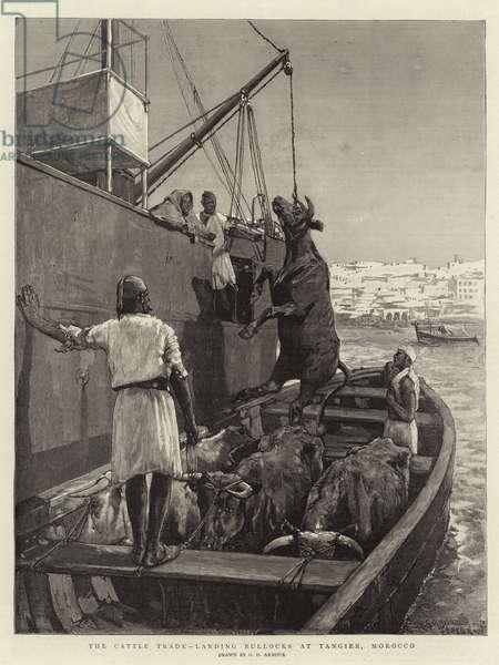The Cattle Trade, landing Bullocks at Tangier, Morocco (engraving)