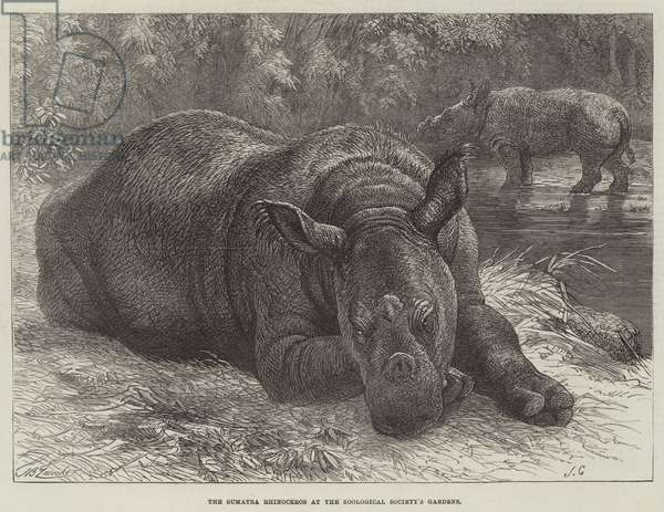 The Sumatra Rhinoceros at the Zoological Society's Gardens (engraving)