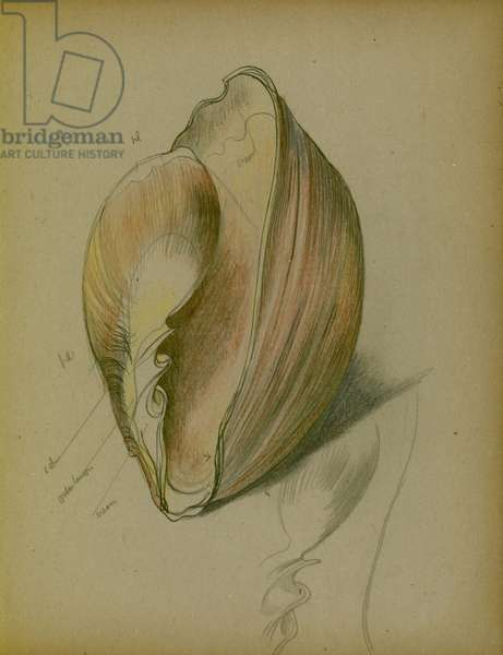 Study of a shell, 1930s (pencil, pen & ink on paper)