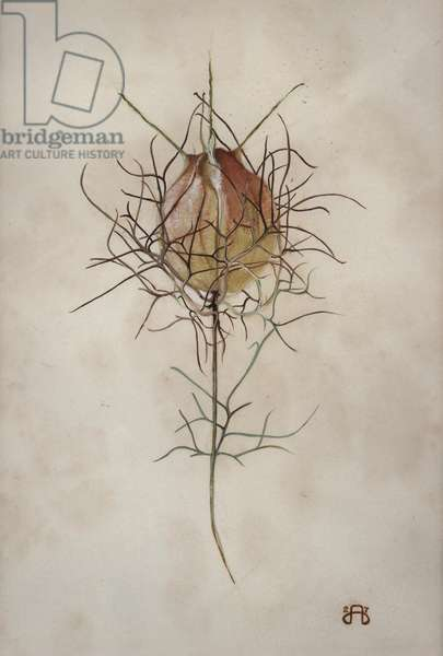 Love in the Mist - study of a Nigella Damascena seed head (gouache on paper)