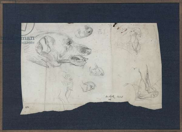 Study of a dog's head and paws (pencil on paper)