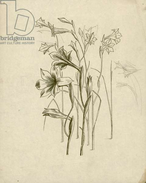Studies of Gladiolus tristis for page 103 of Gardeners' Choice, c.1936 (pen & ink on paper)