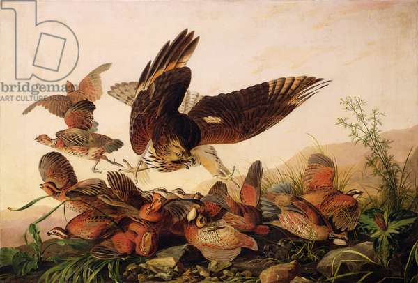 Red-Shouldered Hawk Attacking Bobwhite Partridges, 1827 (oil on canvas)