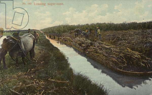 Loading sugar-cane (photo)