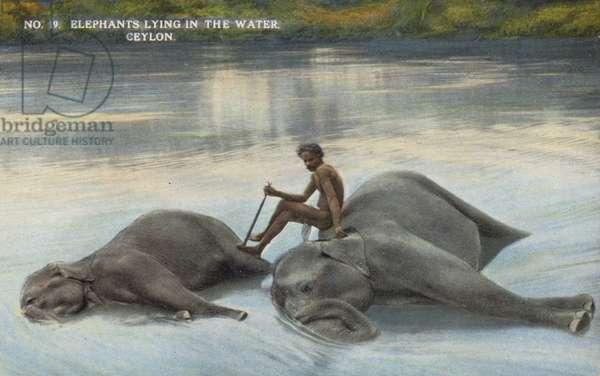 Elephants lying in the Water, Ceylon (photo)