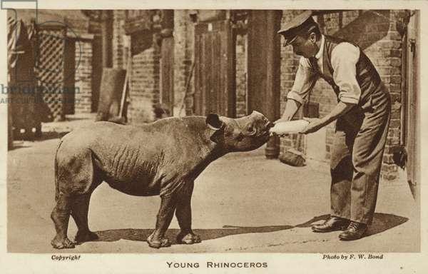 A zookeeper feeding a young rhinoceros (b/w photo)