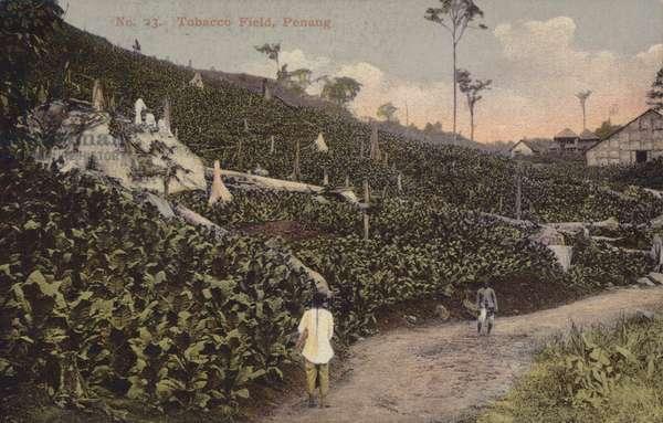 Tobacco Field, Penang (photo)