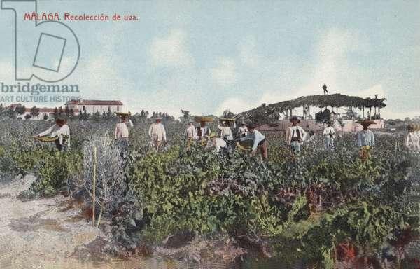 Grape harvest, Malaga, Spain (coloured photo)