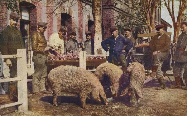 German soldiers slaughtering pigs behind the front line, World War I, 1914-1916 (photo)