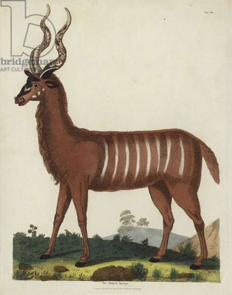The Striped Antelope (coloured engraving)