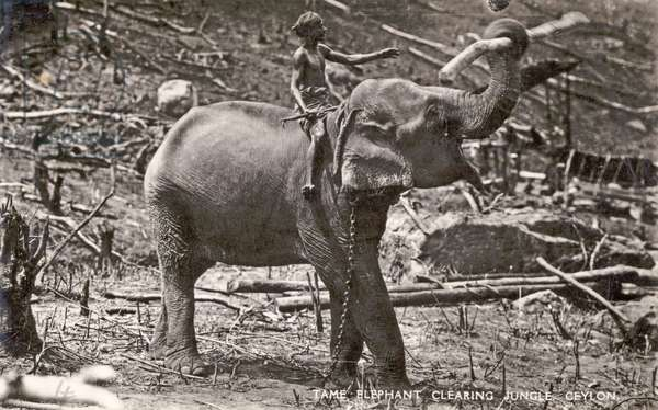 Tame Elephant clearing Jungle, Ceylon (b/w photo)