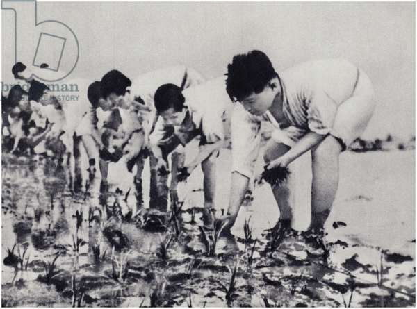 Comrade Kim Il-sung seeds rice together with the peasants (litho)