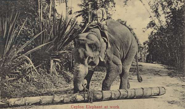 Ceylon Elephant at work (b/w photo)