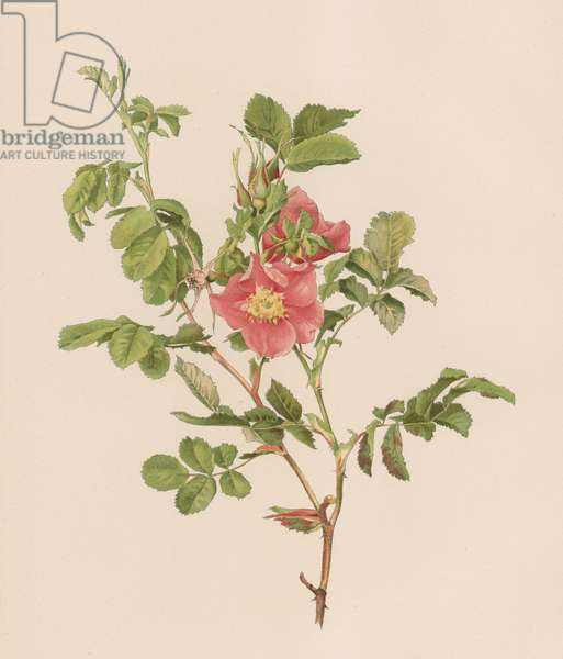 English Rose (colour litho)