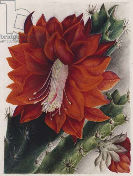 Detail of a flowering cactus (colour litho)