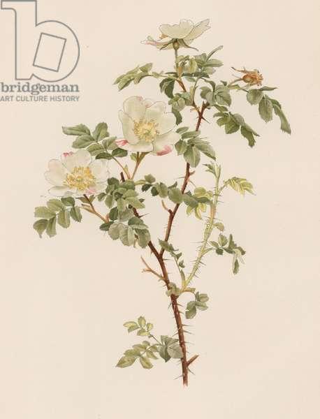 English Rose (colour litho)