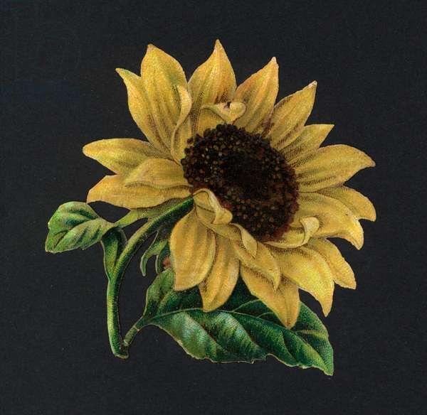 Victorian scraps: Sunflower (chromolitho)