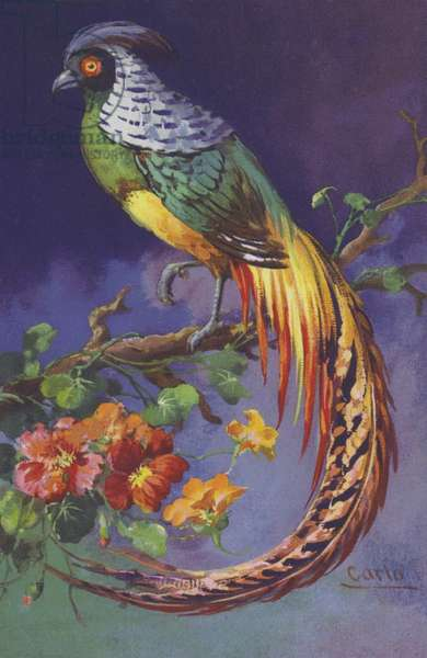 Tropical or exotic bird. (chromolitho)