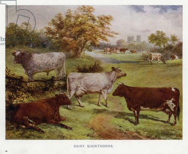 Dairy Shorthorns (colour litho)