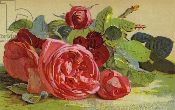 Roses, the Duke of Edinburgh (chromolitho)