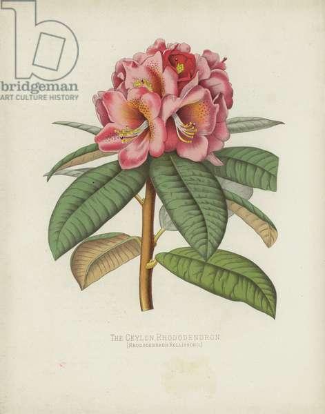 The Ceylon Rhododendron, Rhododendron Rollissonii (chromolitho)
