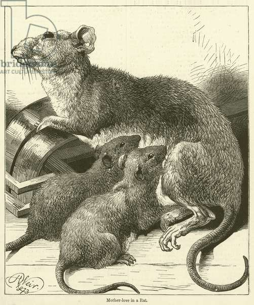 Mother-love in a Rat (engraving)