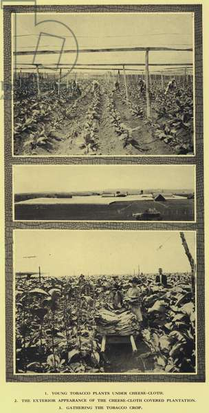 Cultivation of tobacco, Cuba (b/w photo)