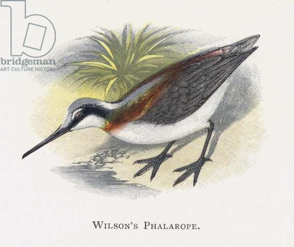 Wilson's Phalarope (chromolitho)