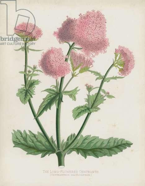 The Long-Flowered Centranth, Centranthus Macrosiphon (chromolitho)