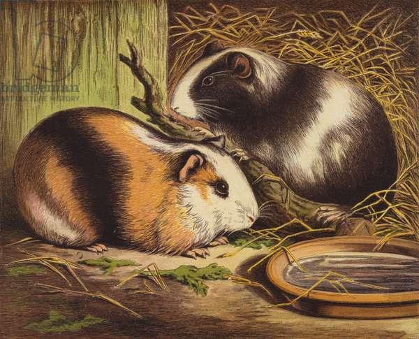 Guinea Pigs (colour litho)