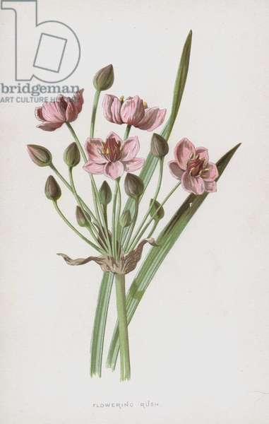 Flowering Rush (chromolitho)