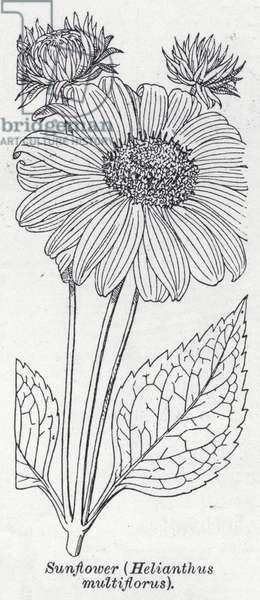 Sunflower, Helianthus multiflorus (litho)
