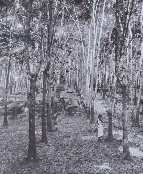 A Ceylon Rubber Plantation (b/w photo)