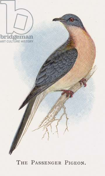 The Passenger Pigeon (chromolitho)