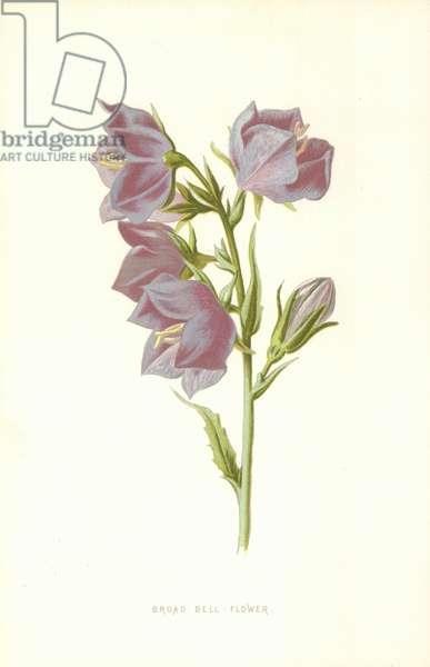 Broad Bell Flower