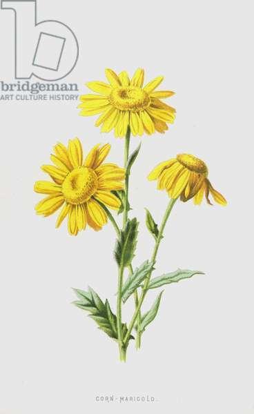 Corn-Marigold (chromolitho)