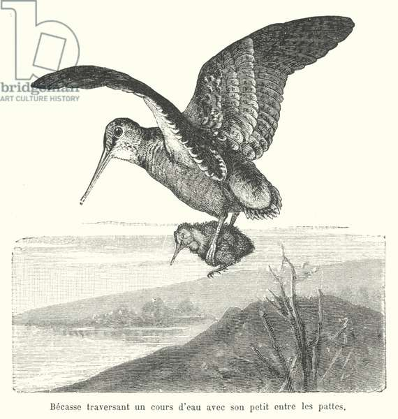 Woodcock carrying its chick over a watercourse (engraving)