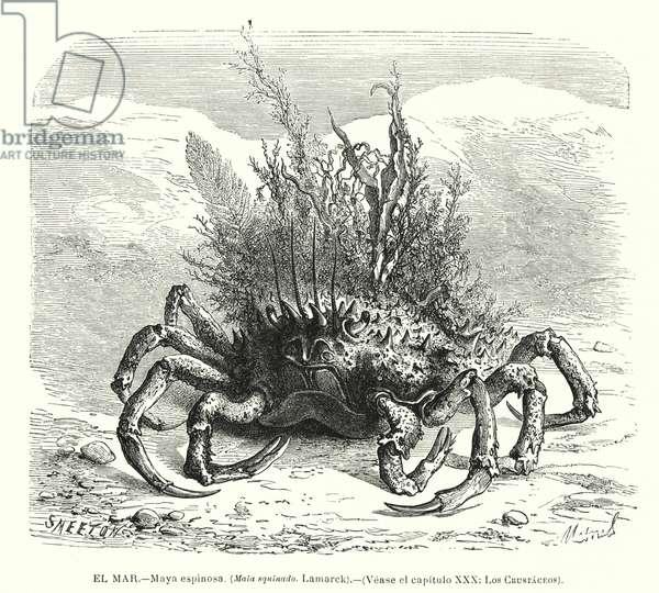 European spider crab (Maja squinado) (litho)