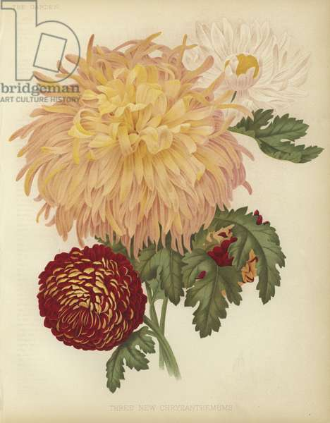 Three new Chrysanthemums (colour litho)