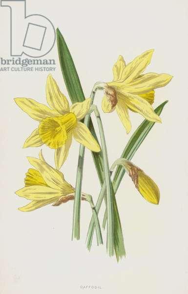 Daffodil (chromolitho)