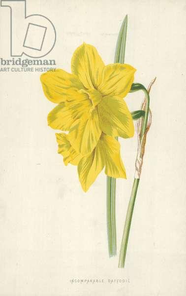 Incomparable Daffodil