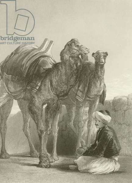 A group of Camels at Smyrna (engraving)